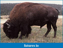 Click image for larger version  Name:Americanbison.jpg Views:38 Size:512.5 KB ID:189033