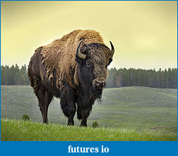 Click image for larger version  Name:bison_sergioboccardo_shutterstock3.jpg Views:37 Size:1.12 MB ID:189034