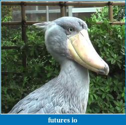 nature photos-second-shoebill.png